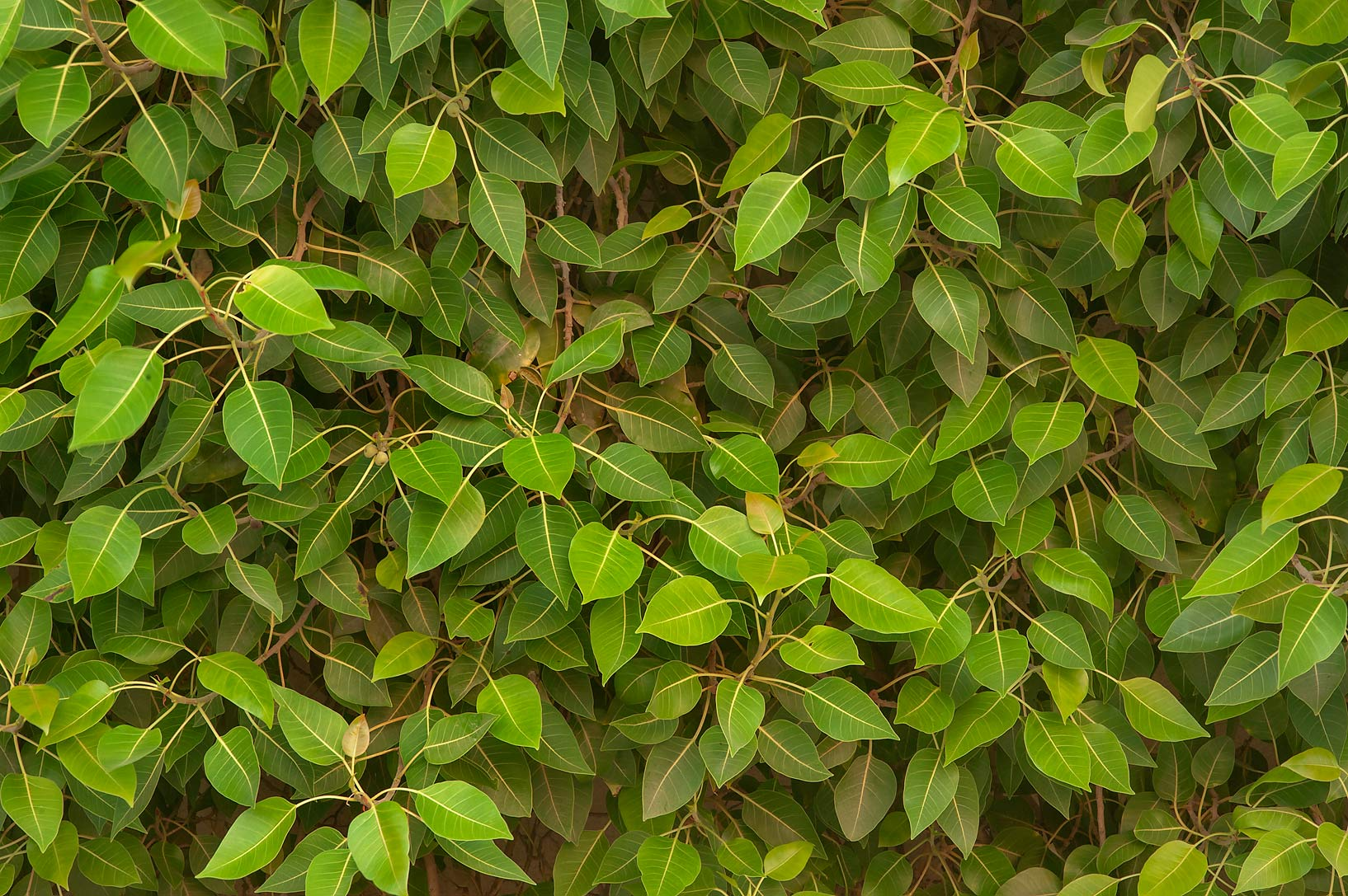 photo 149103 ficus benghalensis near al istiqlal st in