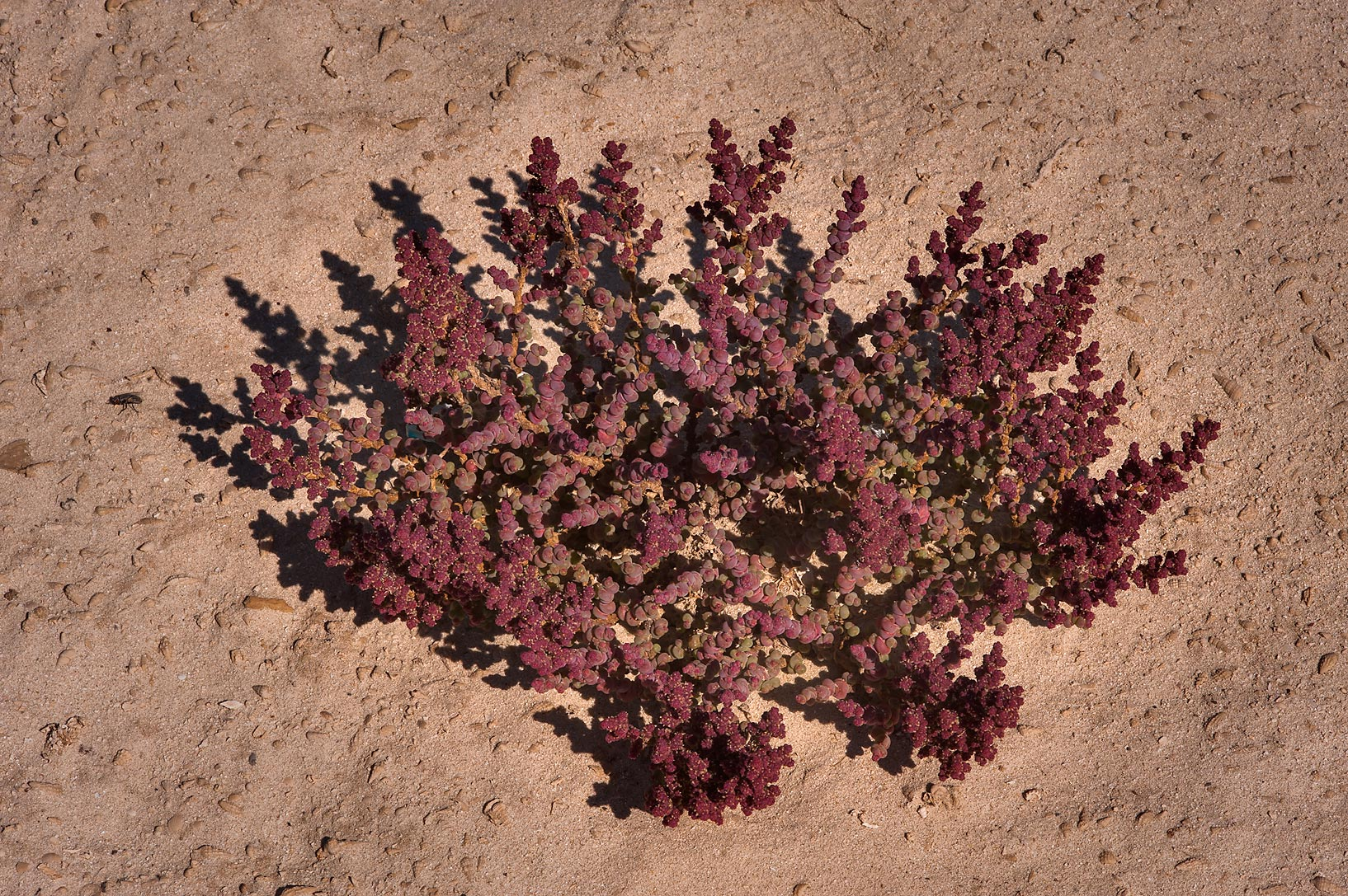 Al Kheriza beach plant (Halopeplis perfoliata) on...archeological site. Northern Qatar
