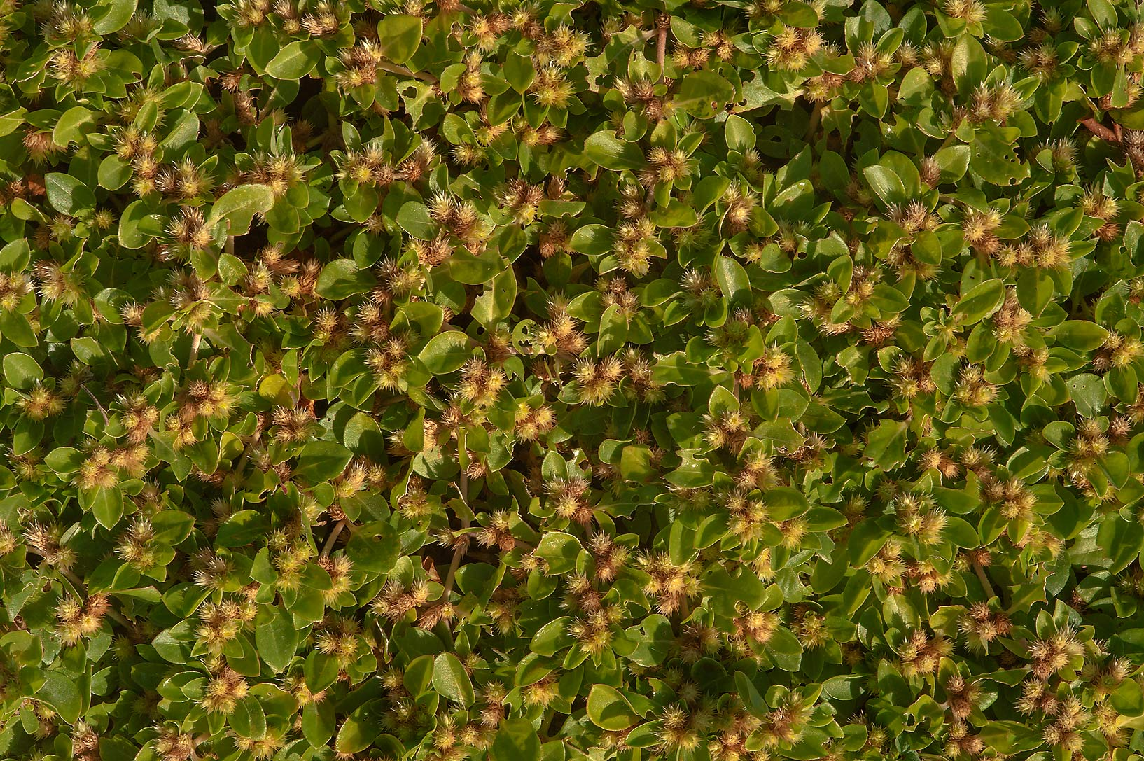 Khaki Burr weed (Alternanthera pungens) carpeting...Irkaya) Farms. South-western Qatar