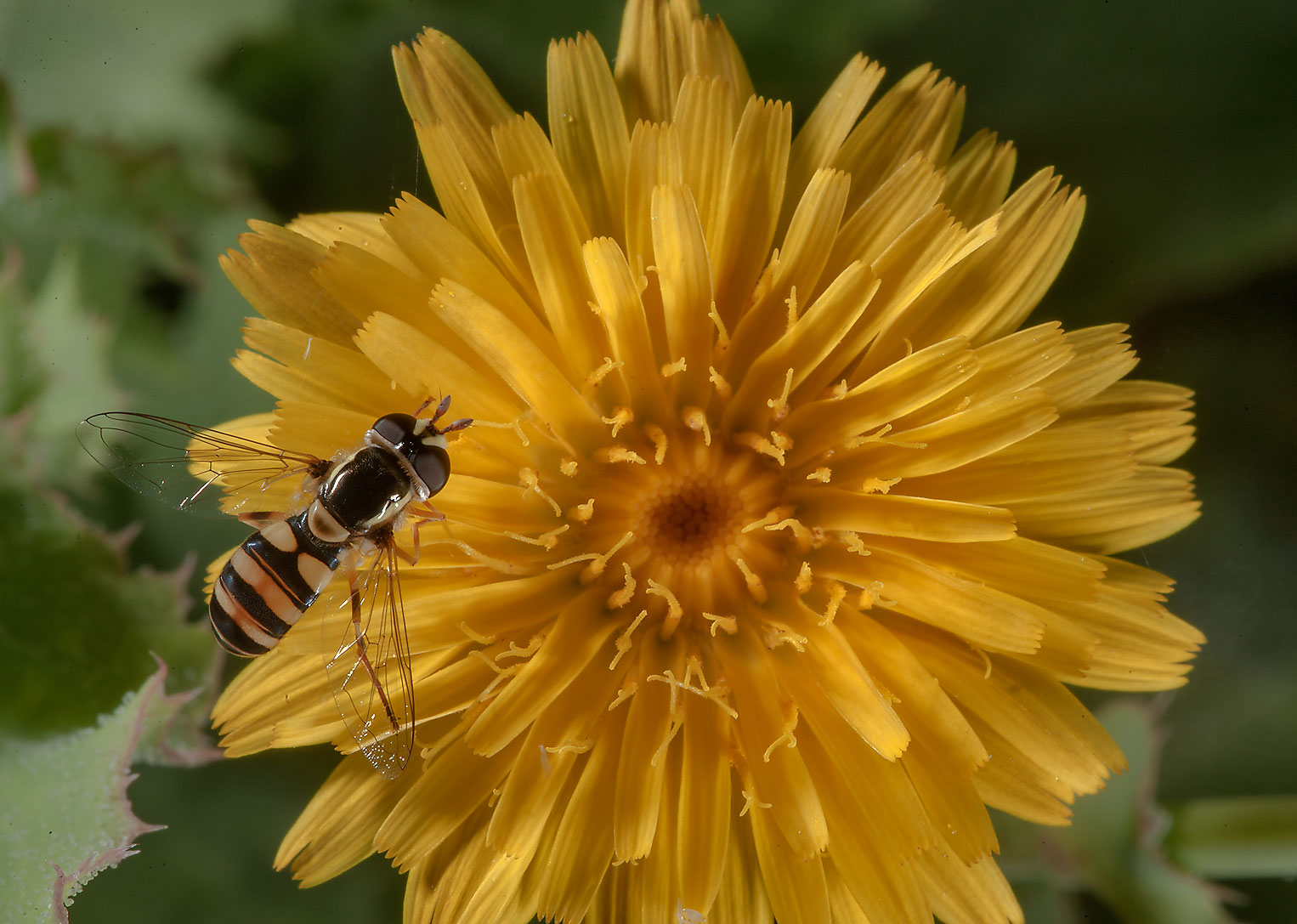 Hoverfly on a flower of Reichardia intermedia on...Irkaya) Farms. South-western Qatar