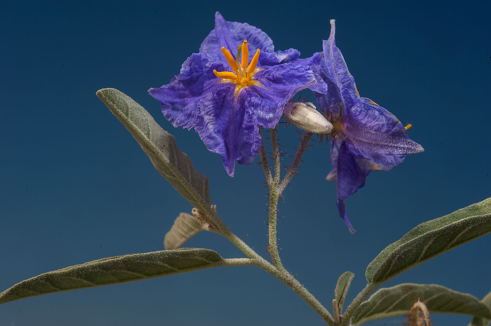 Blooming silverleaf nightshade (Solanum...Irkaya) Farms. South-western Qatar