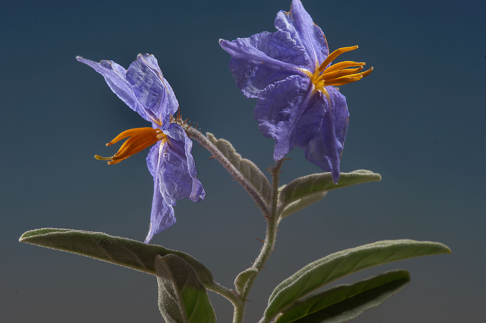 Close up of flowers of silverleaf nightshade...Irkaya) Farms. South-western Qatar