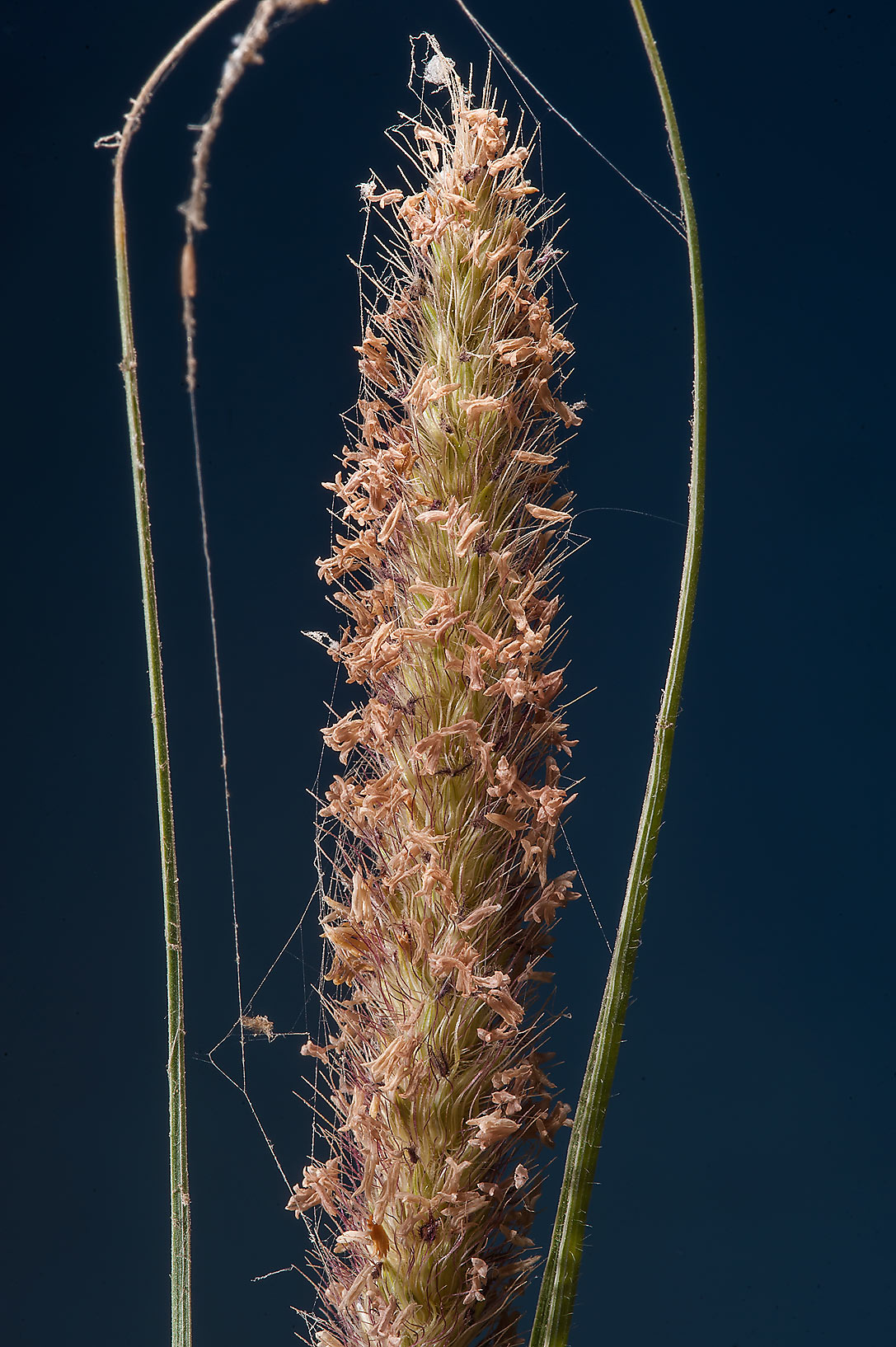 Spikelet of some grass on Green Circles (center...Irkaya) Farms. South-western Qatar