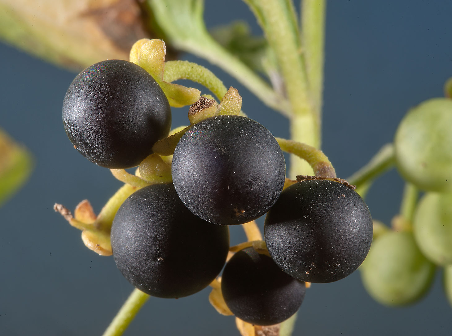 Berries of black nightshade (Solanum nigrum) on...Irkaya) Farms. South-western Qatar