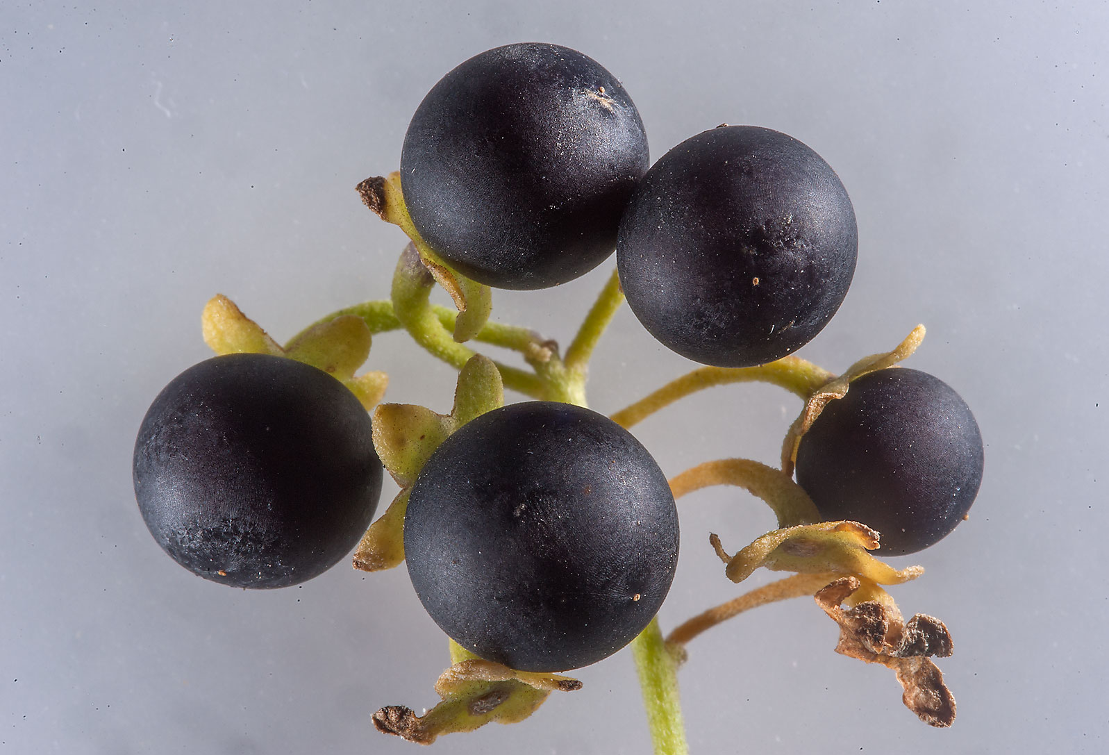 Ripe fruits of black nightshade (Solanum nigrum...Irkaya) Farms. South-western Qatar