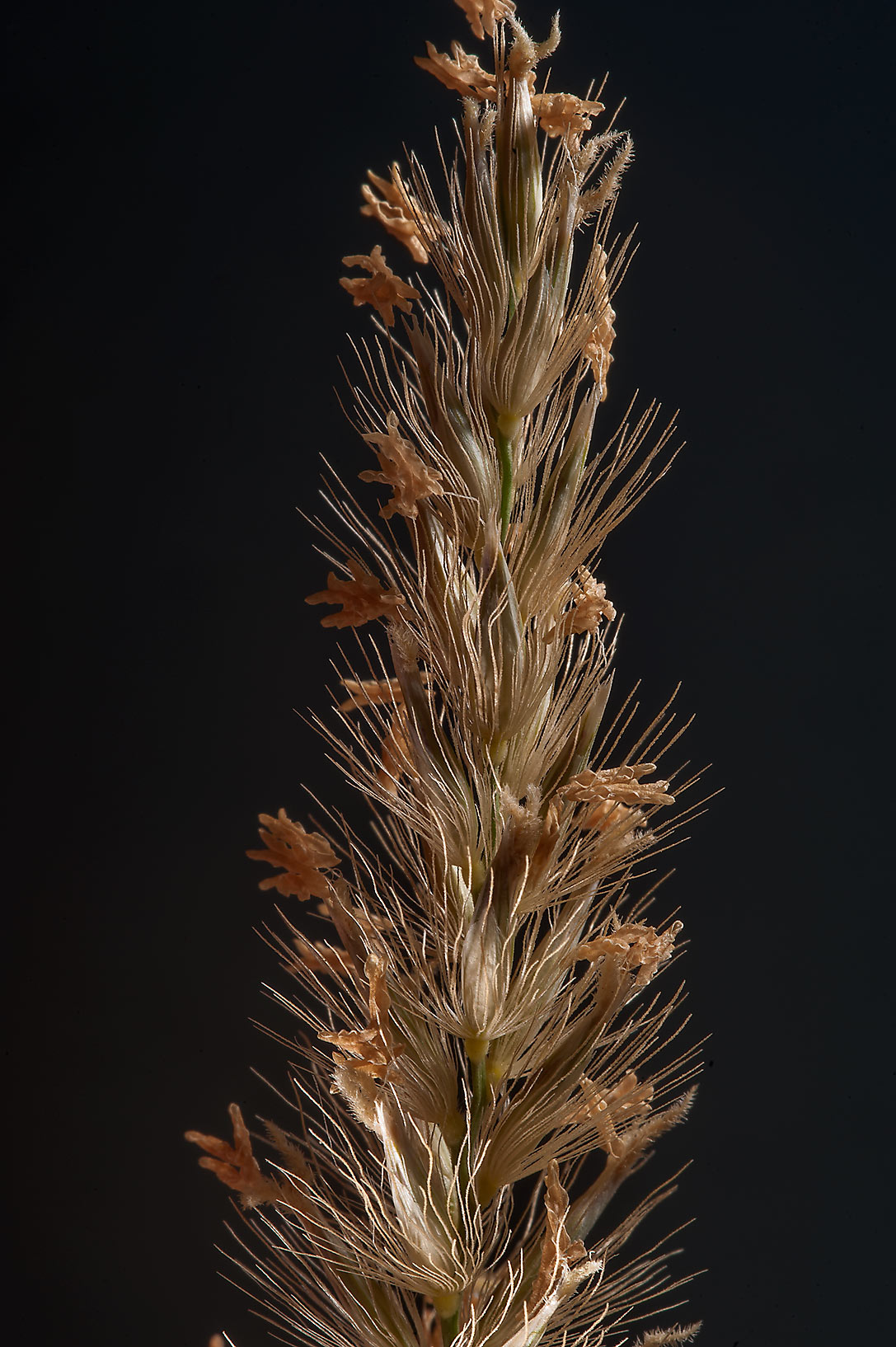 Grass Pennisetum divisum in area between Al Khor and Ras Laffan. Qatar