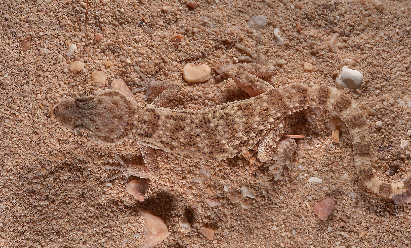 Camouflaged lizard Button-scaled gecko (Bunopus...between Al Khor and Ras Laffan. Qatar