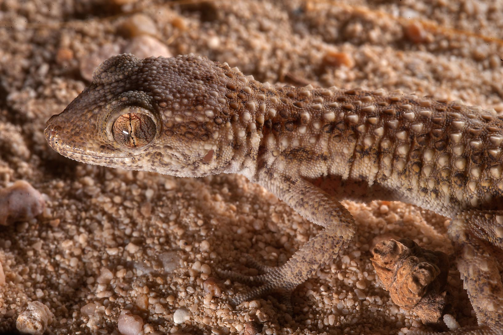 Close up of lizard Button-scaled gecko (Bunopus...between Al Khor and Ras Laffan. Qatar