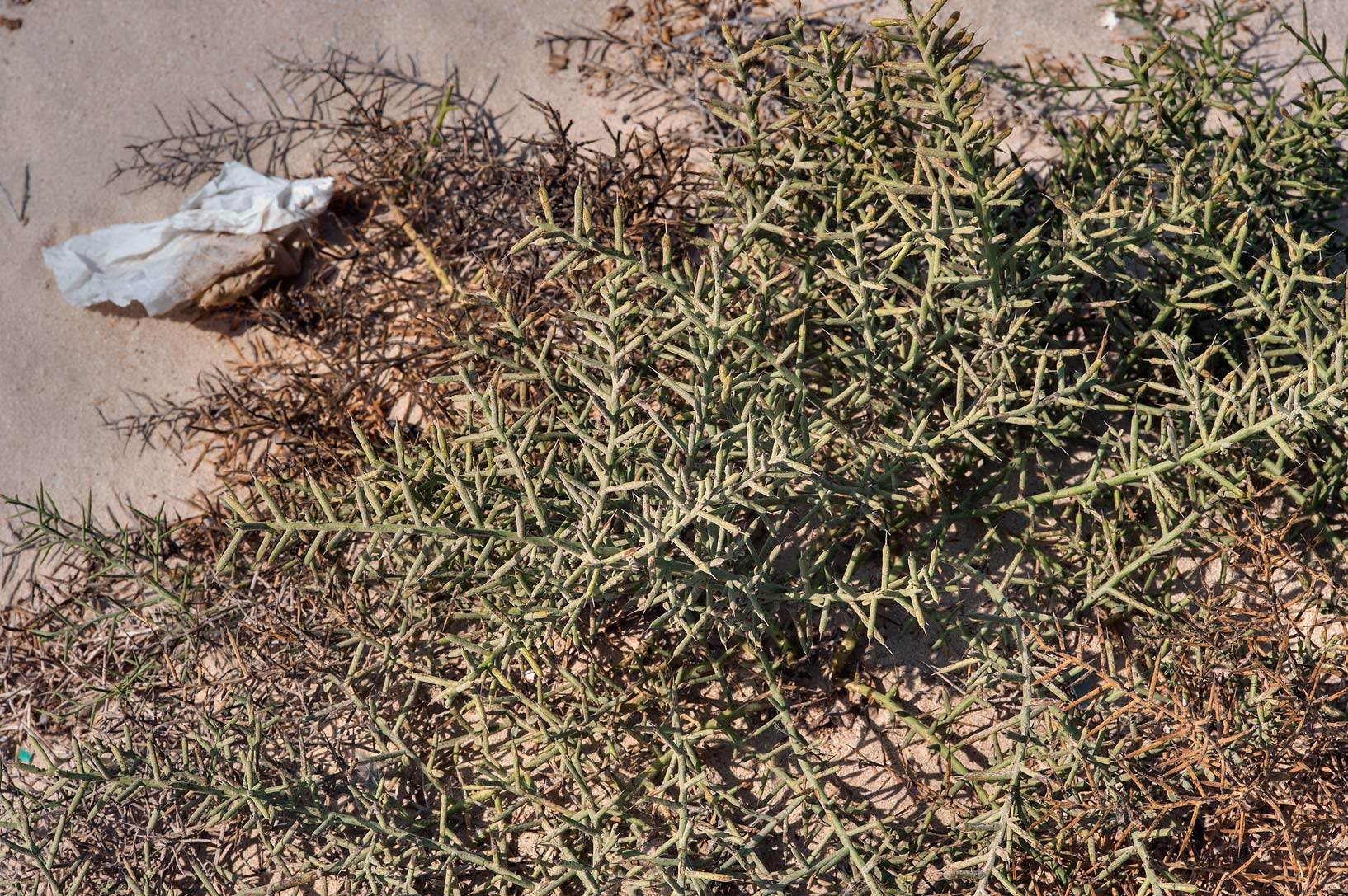 Camelthorn bush (Alhagi maurorum) on a beach in...Well near Umm Bab. South-western Qatar