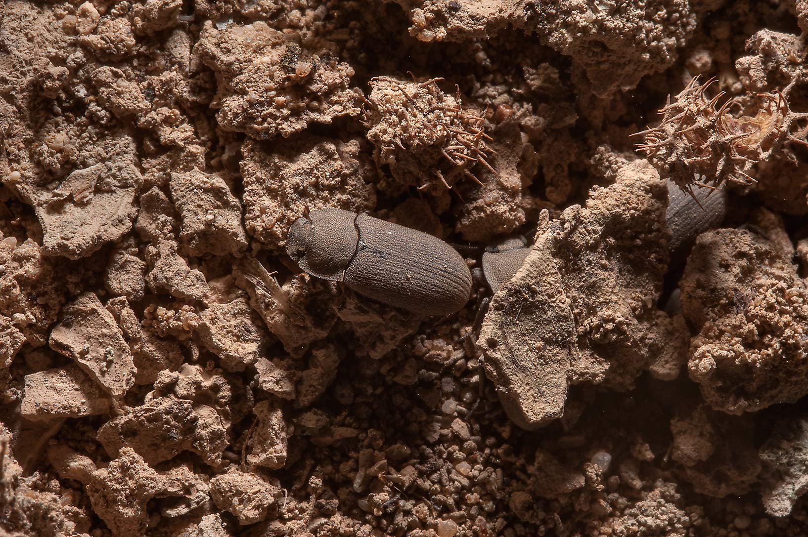 Dung beetle in oasis in front of Film City in Ras...area, north from Zekreet. Qatar