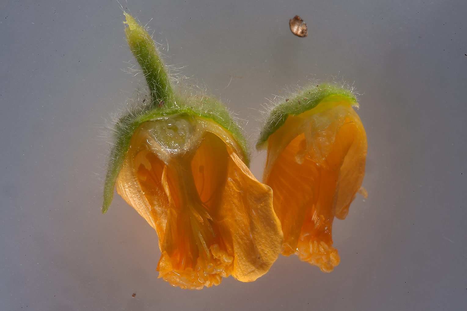 Dissected flower of velvetleaf (Abutilon pannosum...area, north from Zekreet. Qatar