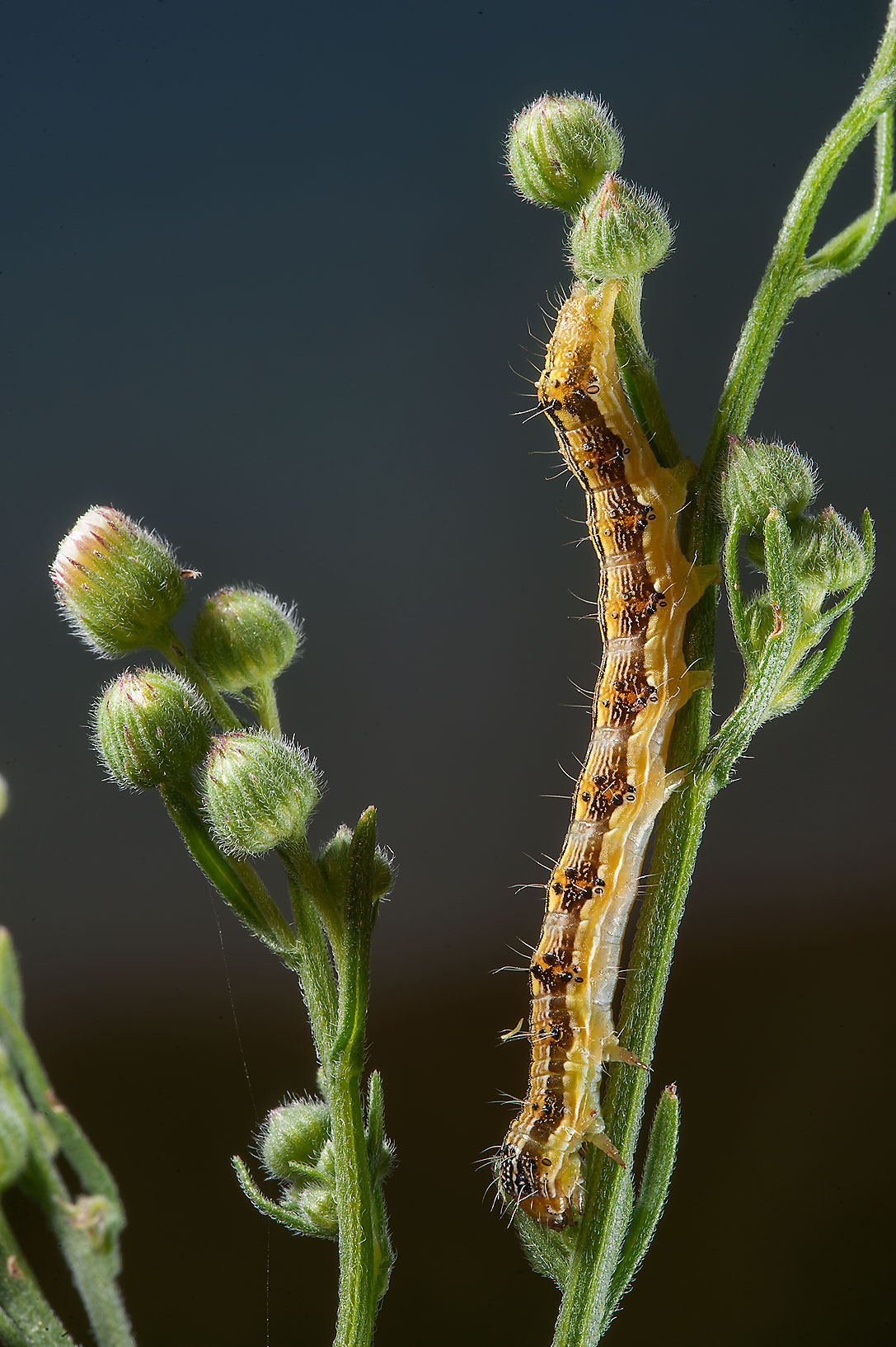 Caterpillar feeding on flowers of fleabane daisy...Irkaya) Farms. South-western Qatar