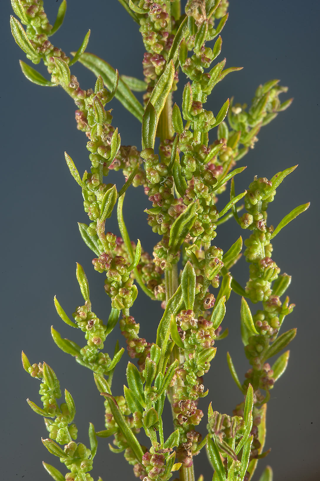 Wormseed (Dysphania ambrosioides, Chenopodium...Irkaya) Farms. South-western Qatar