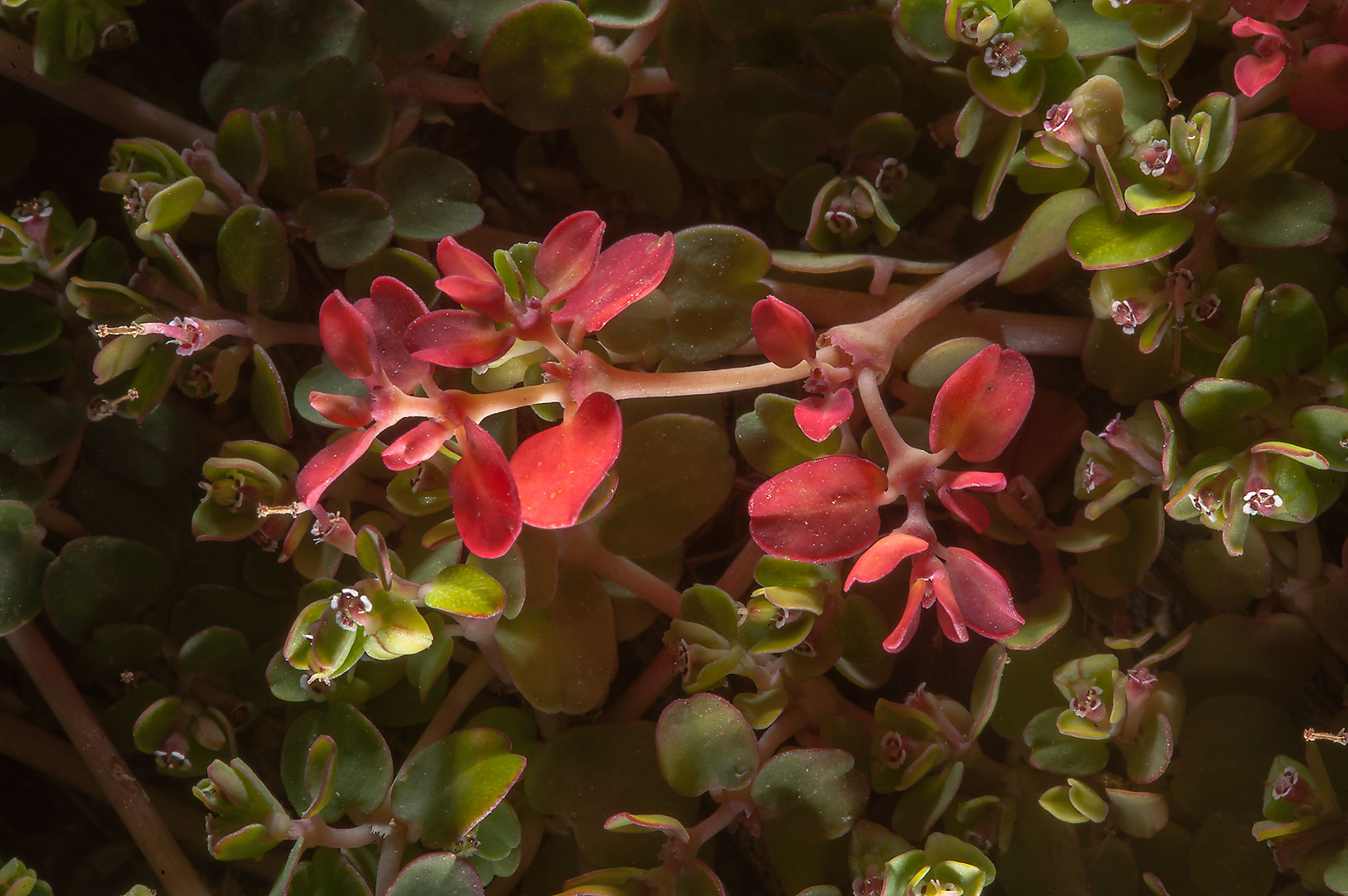 Brilliant red leaves of spurge Euphorbia...Irkaya) Farms. South-western Qatar