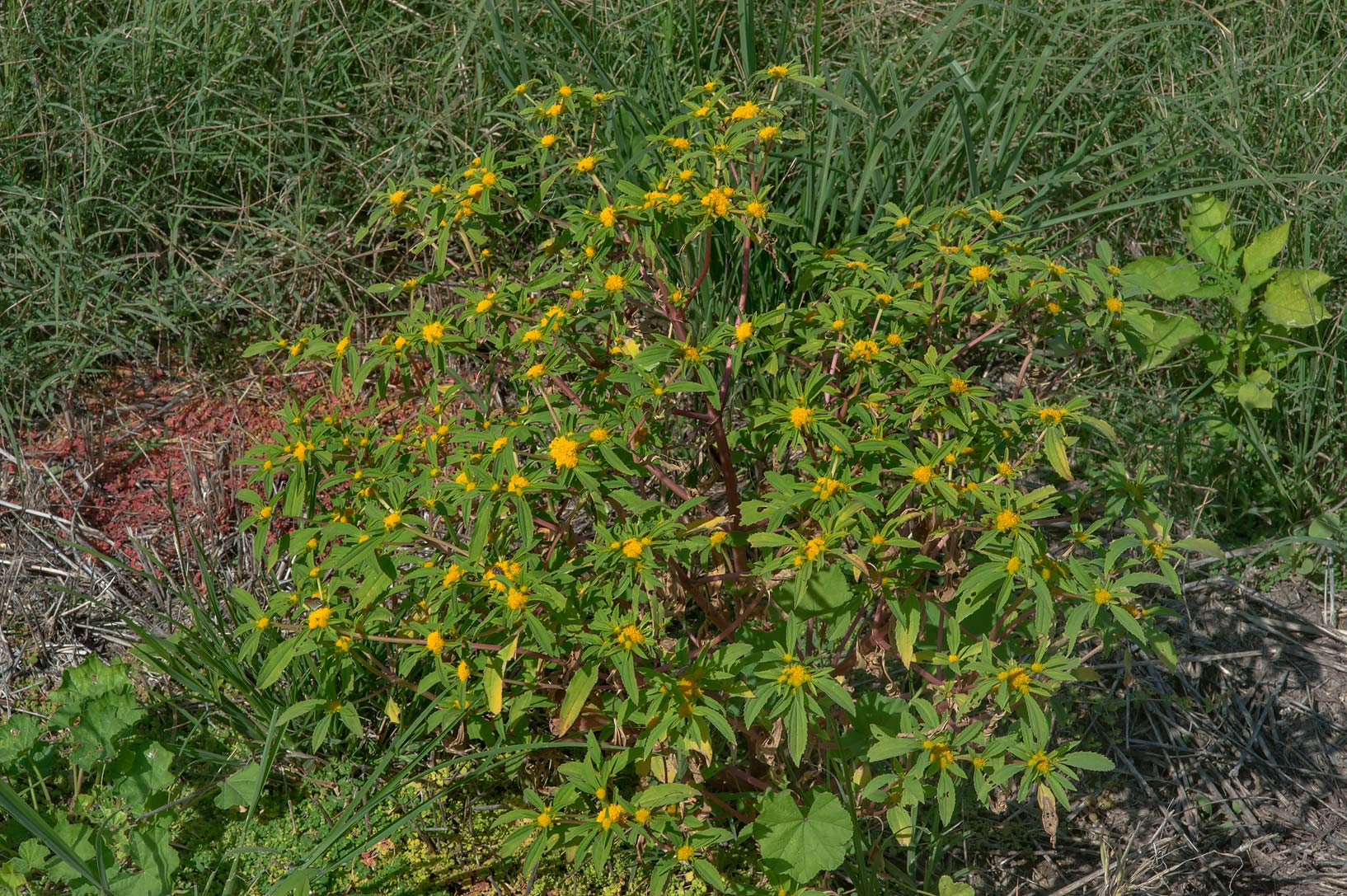Plant of clustered yellowtop (Flaveria trinervia...Irkaya) Farms. South-western Qatar