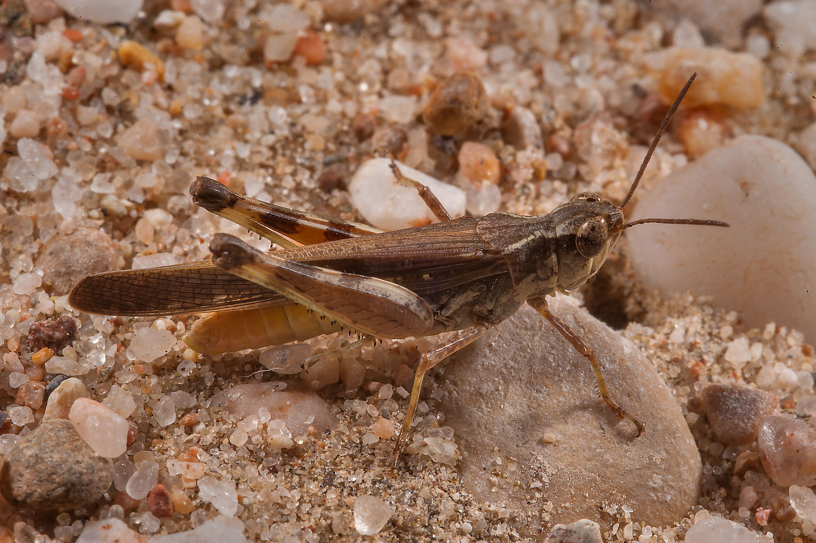 Brown grasshopper on Green Circles (center-pivot...Irkaya) Farms. South-western Qatar