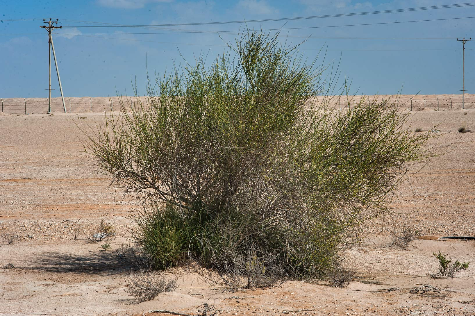 Bush of Leptadenia pyrotechnica on the border of...Irkaya) Farms. South-western Qatar