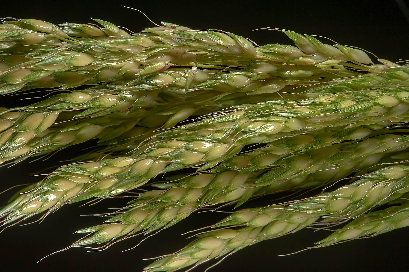 Close up of seeds of Johnson grass (Sorghum...Irkaya) Farms. South-western Qatar