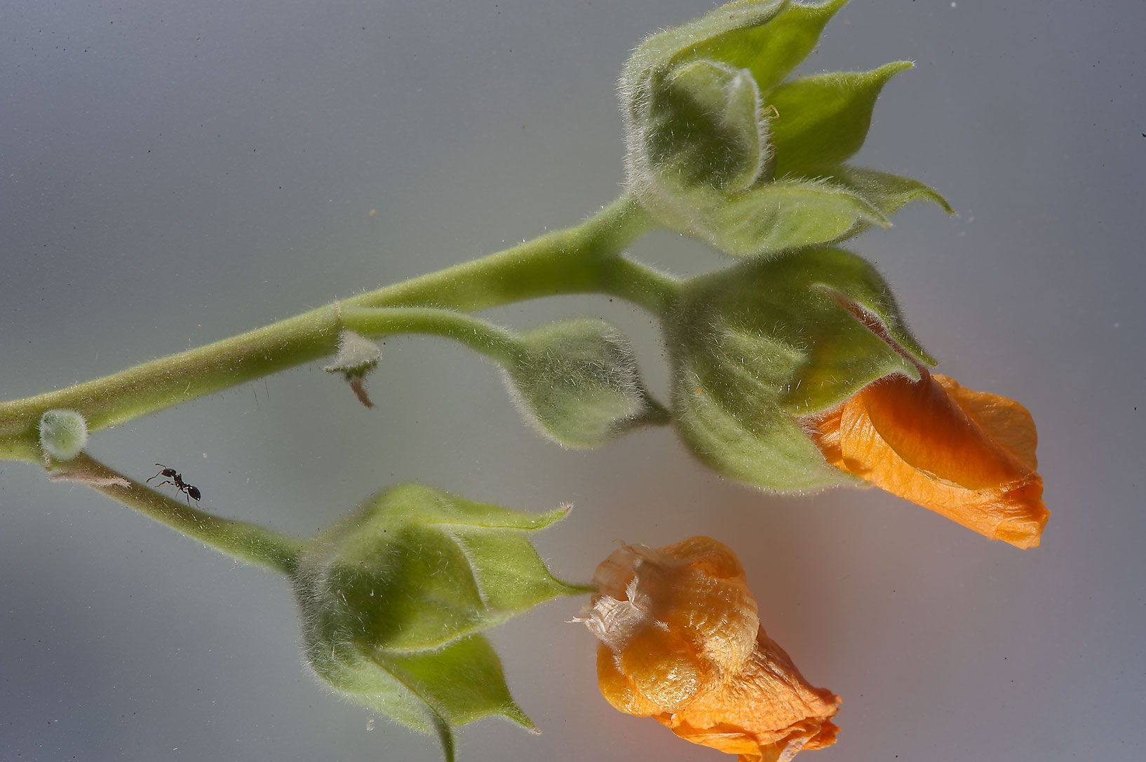 Flower buds of Abutilon figarianum taken from...Al Sham St. in West Bay. Doha, Qatar