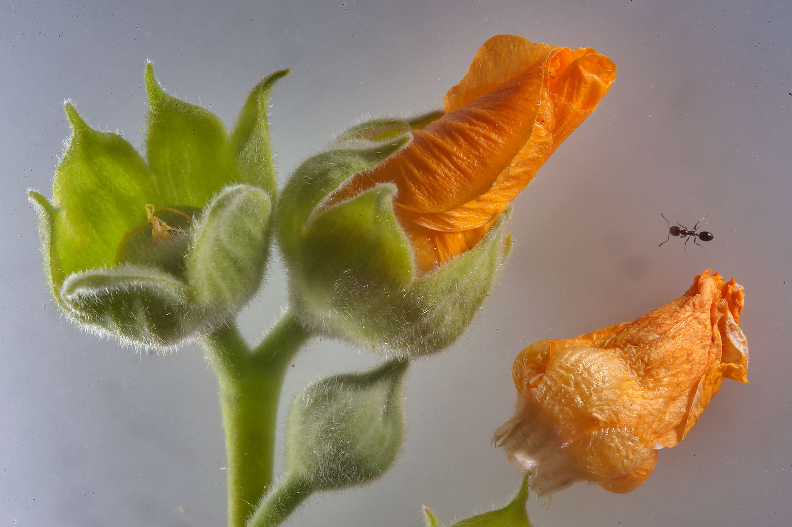 Close up of flower buds of Abutilon figarianum...Al Sham St. in West Bay. Doha, Qatar