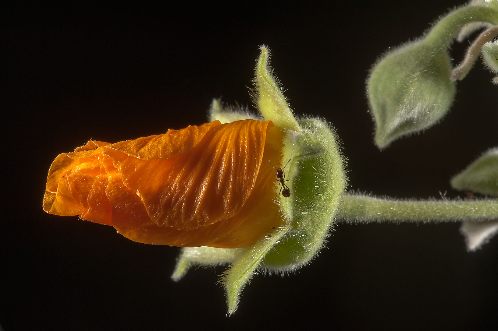 Flower bud of Abutilon figarianum with an ant in...Al Sham St. in West Bay. Doha, Qatar