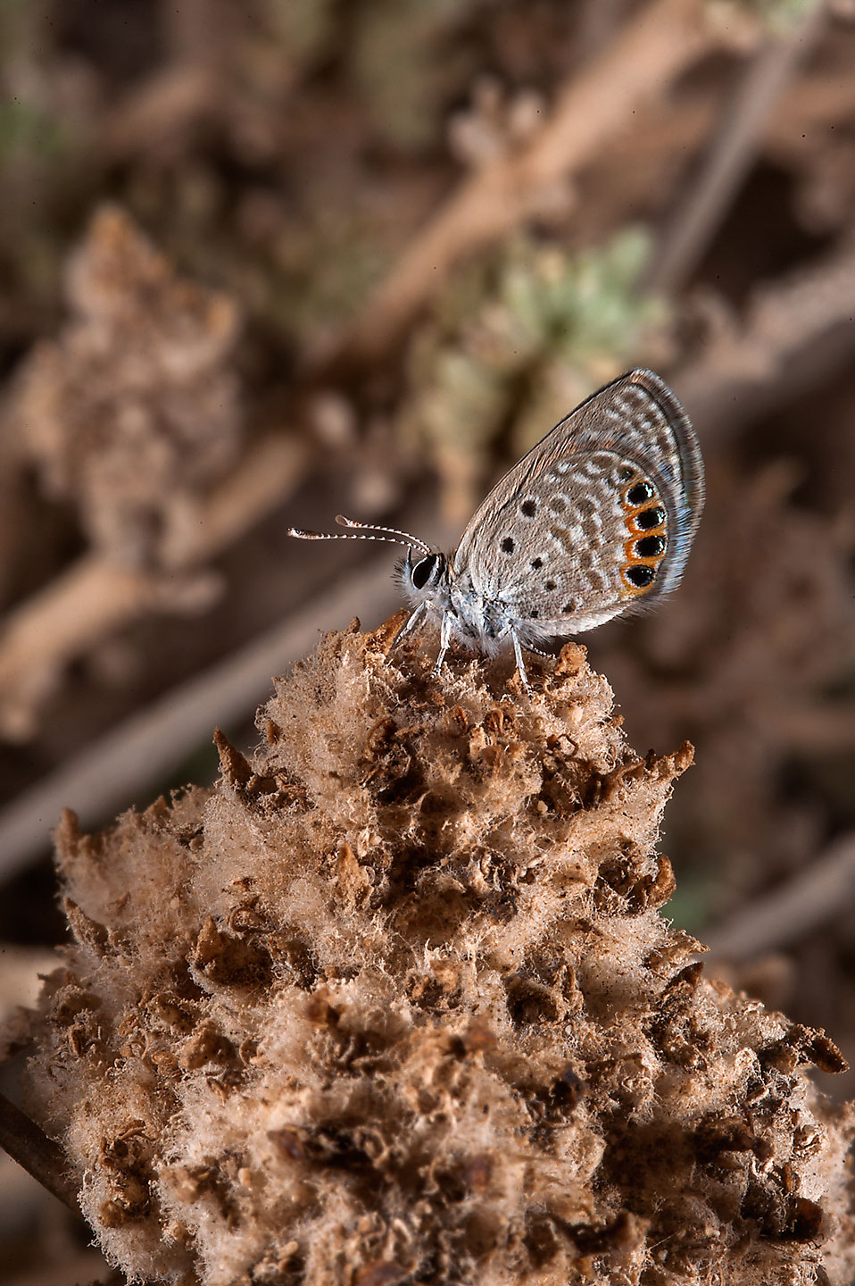 Small blue butterfly on Jebel Fuwairit. Northern Qatar