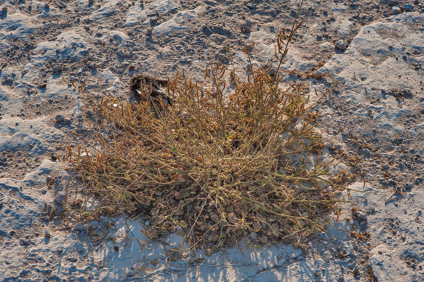 Dry plant of Cleome noeana south from Fuwairit. Northern Qatar
