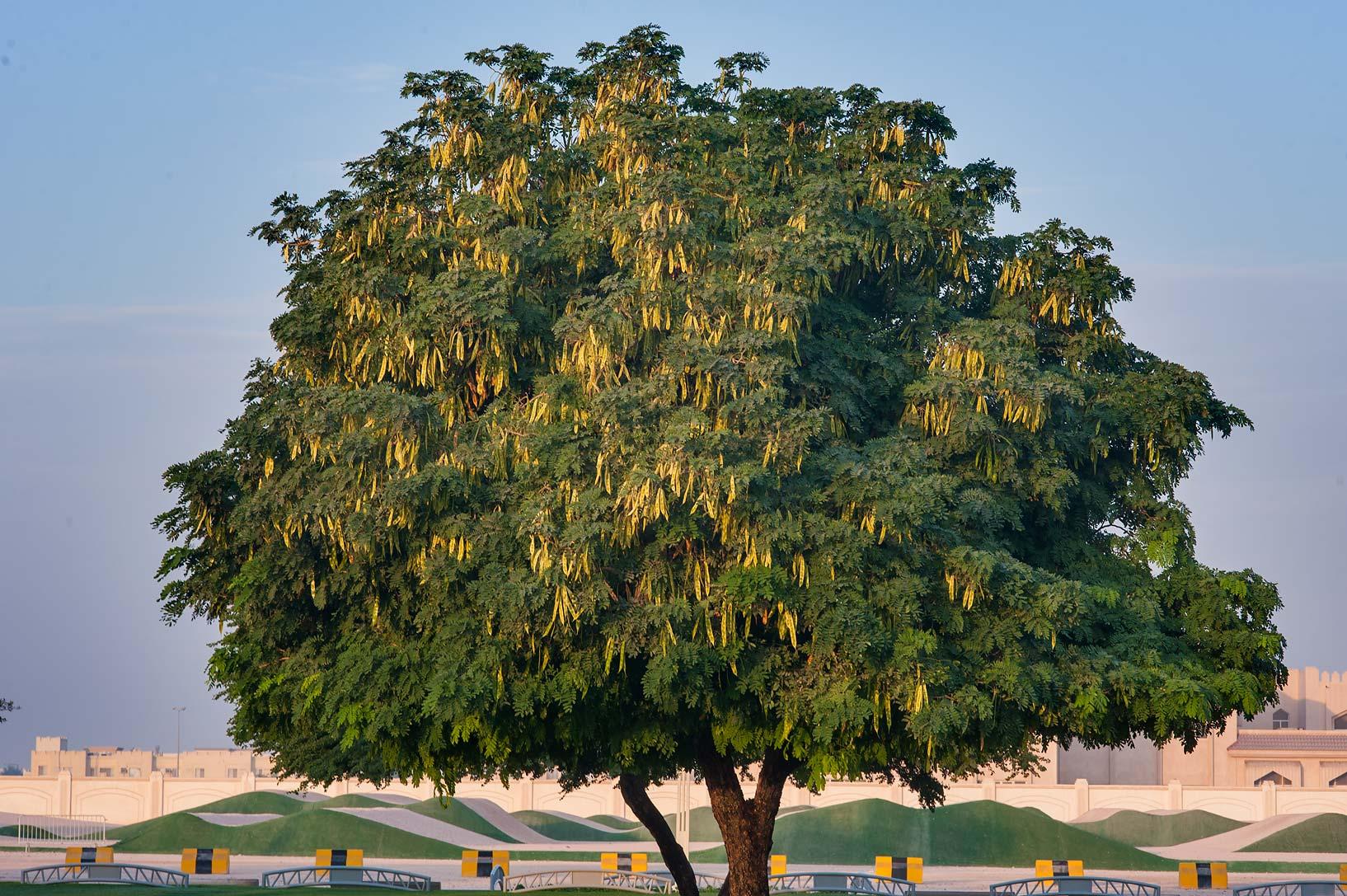 Photo 1504-13: Albizia Lebbeck Tree In Aspire Park. Doha ...