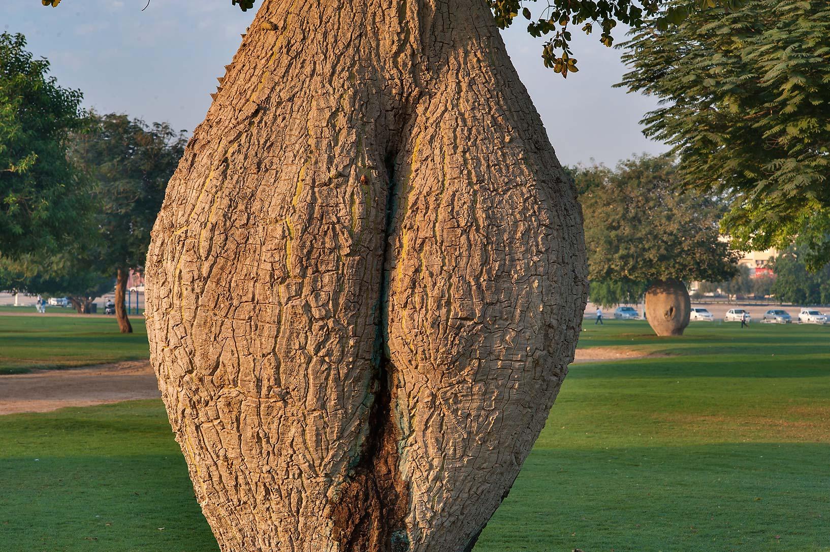 Photo 1504-15: Trunk of Silk floss tree (Chorisia speciosa ...