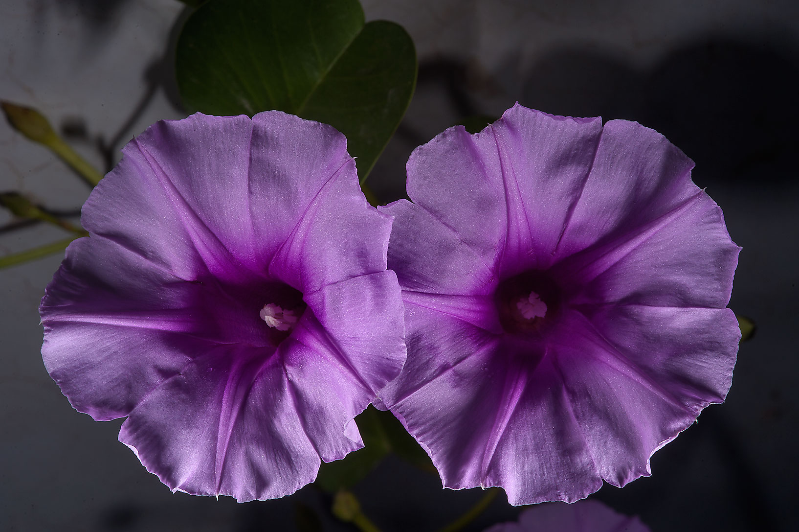 Beach morning glory (railroad vine, Ipomoea pes...Istiqlal St. in West Bay. Doha, Qatar
