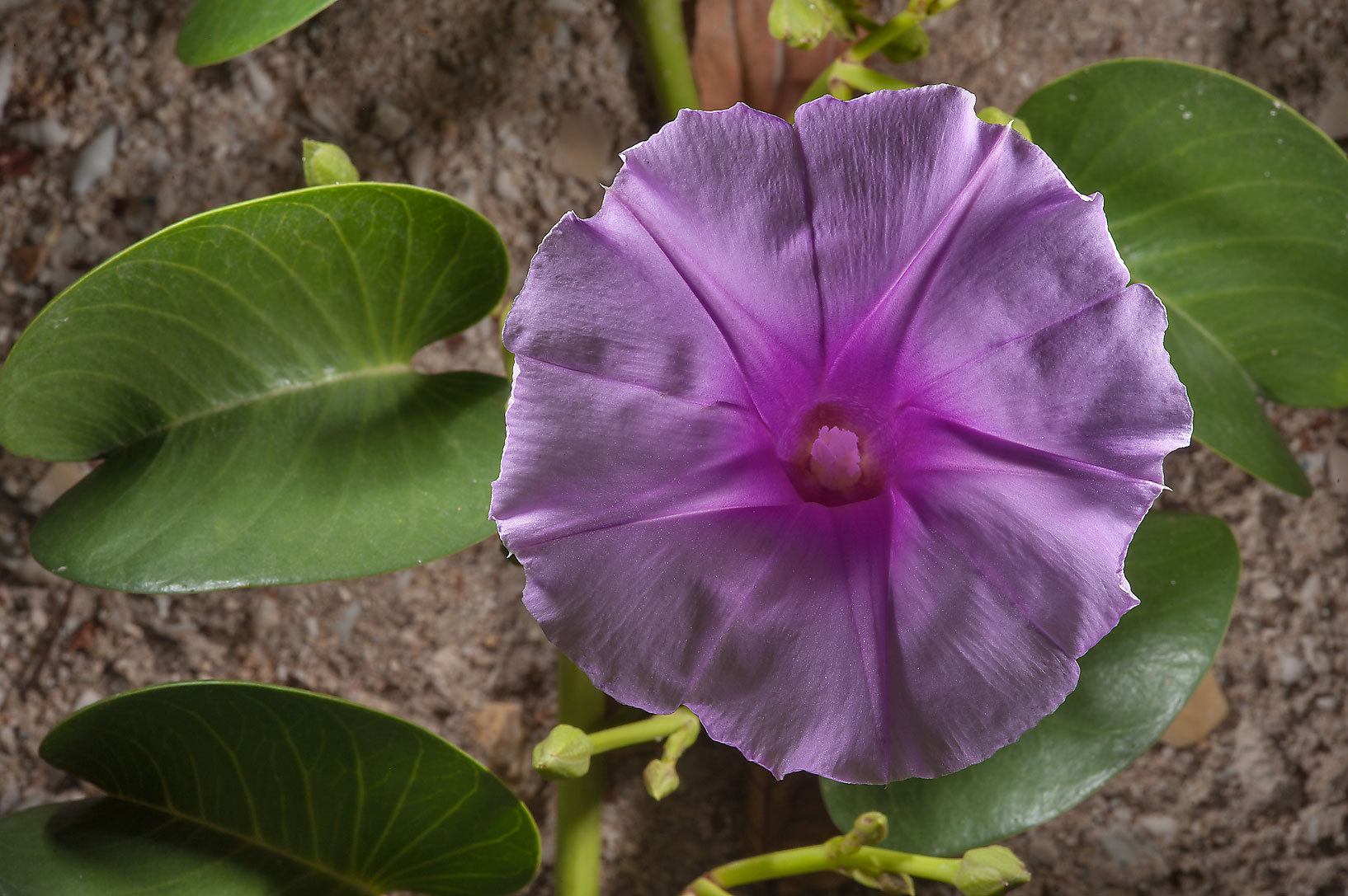 Flower of beach morning glory (railroad vine...Istiqlal St. in West Bay. Doha, Qatar