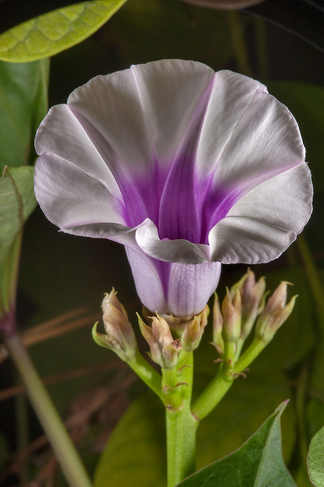 Ipomoea flower - search in pictures