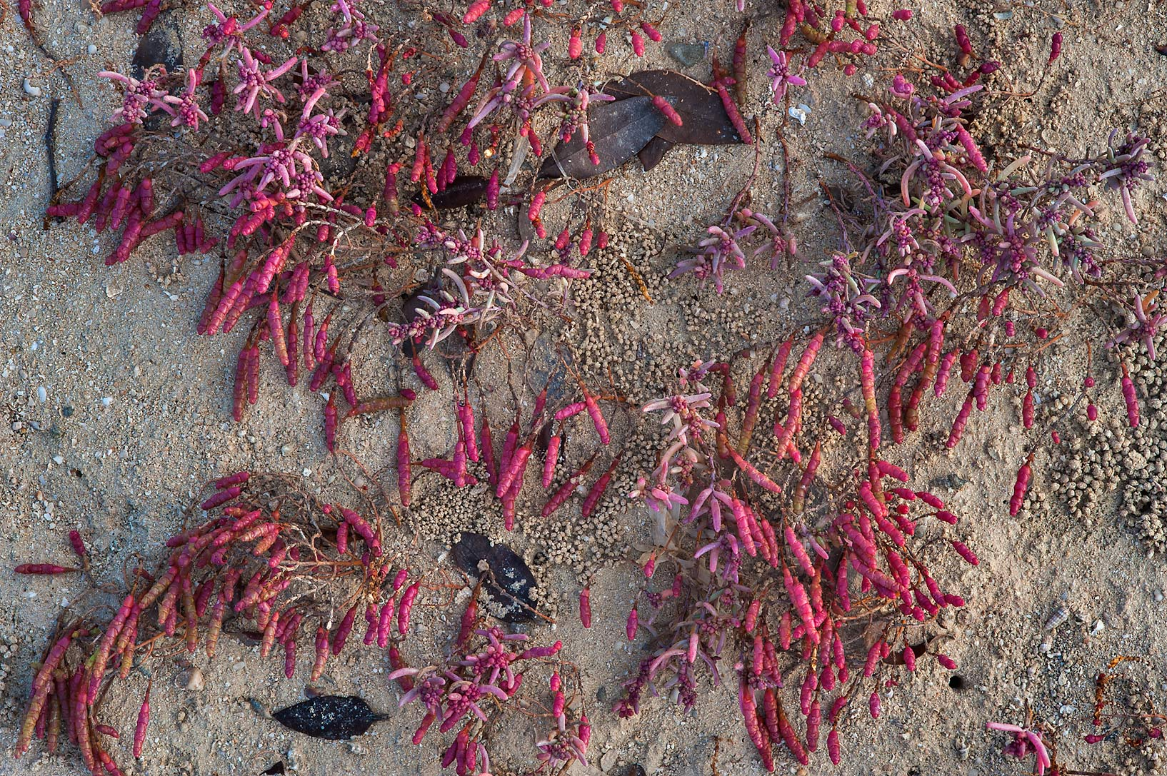 Fall colors of glasswort Salicornia europaea in...Jazirat Bin Ghanim). Al Khor, Qatar