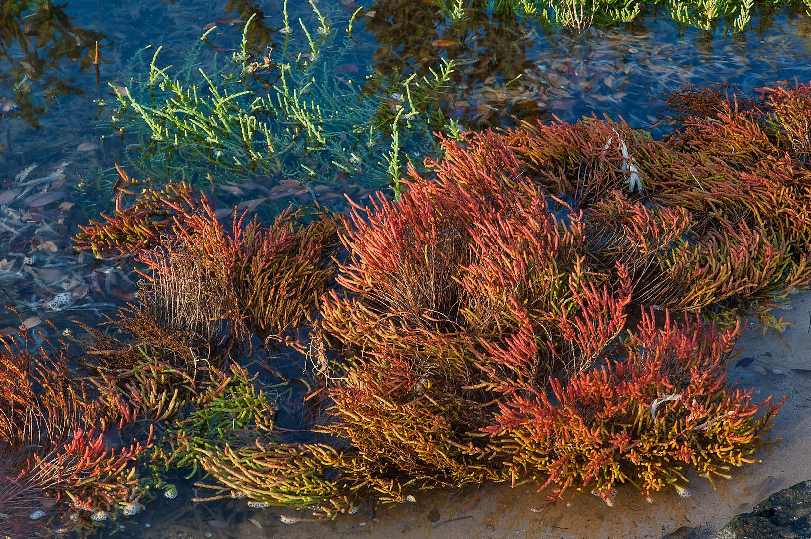 Inundated reddish plants of glasswort Salicornia...Jazirat Bin Ghanim). Al Khor, Qatar