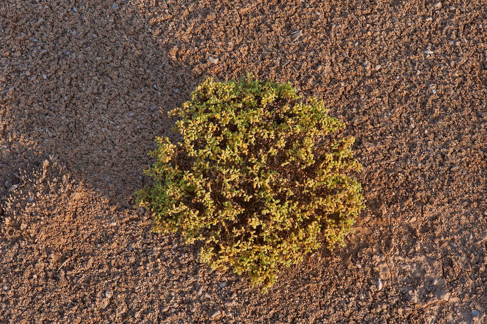 photo 150509 pillow like plant of zygophyllum simplex