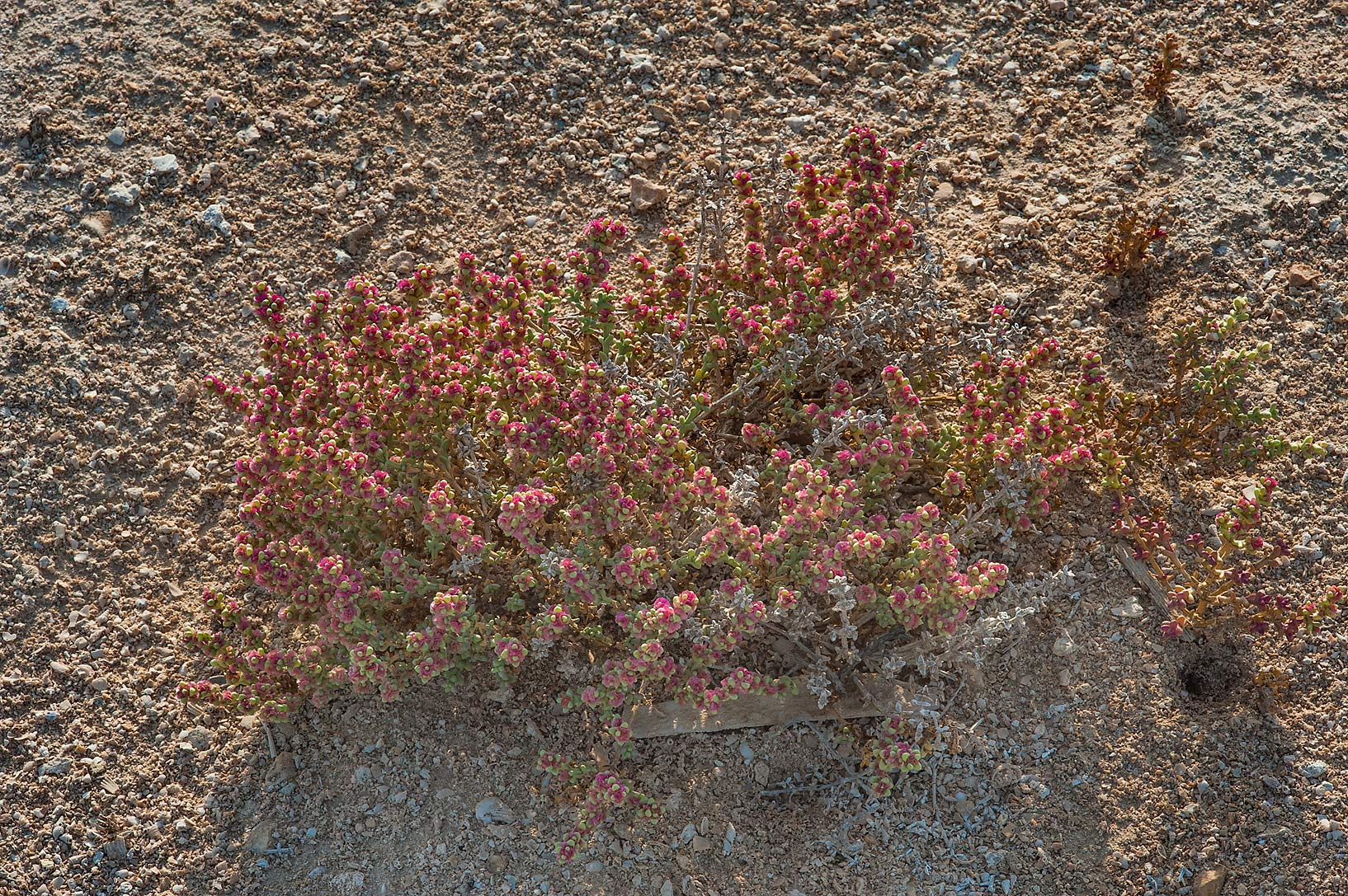 Bush of Anabasis setifera with pink winged fruits...Jazirat Bin Ghanim). Al Khor, Qatar