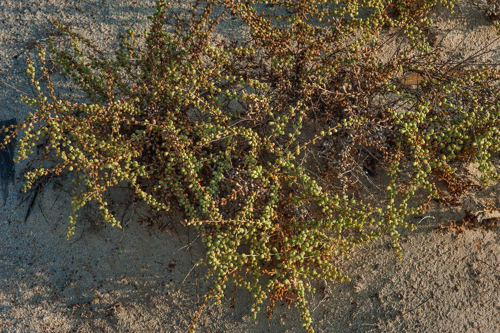 Salt tolerant plant of Salsola drummondii on a...Samra, near the border. Southern Qatar