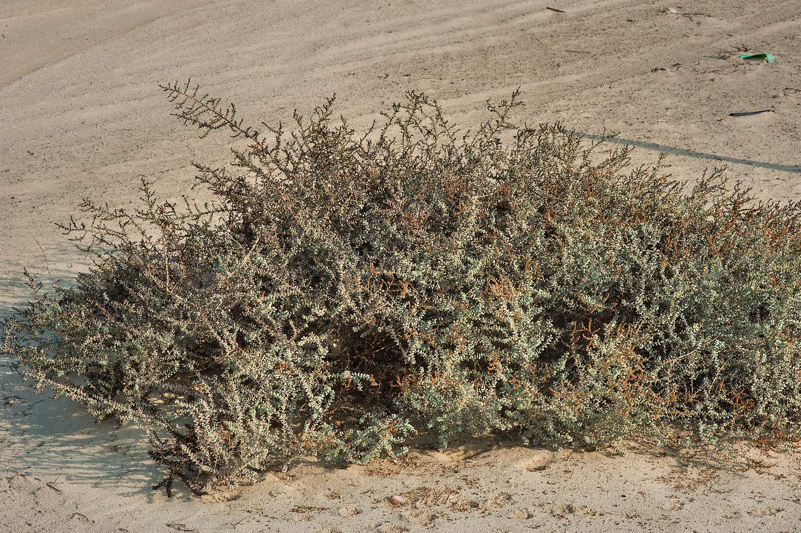 Big plant of Seablite (Suaeda vermiculata) on a...Samra, near the border. Southern Qatar