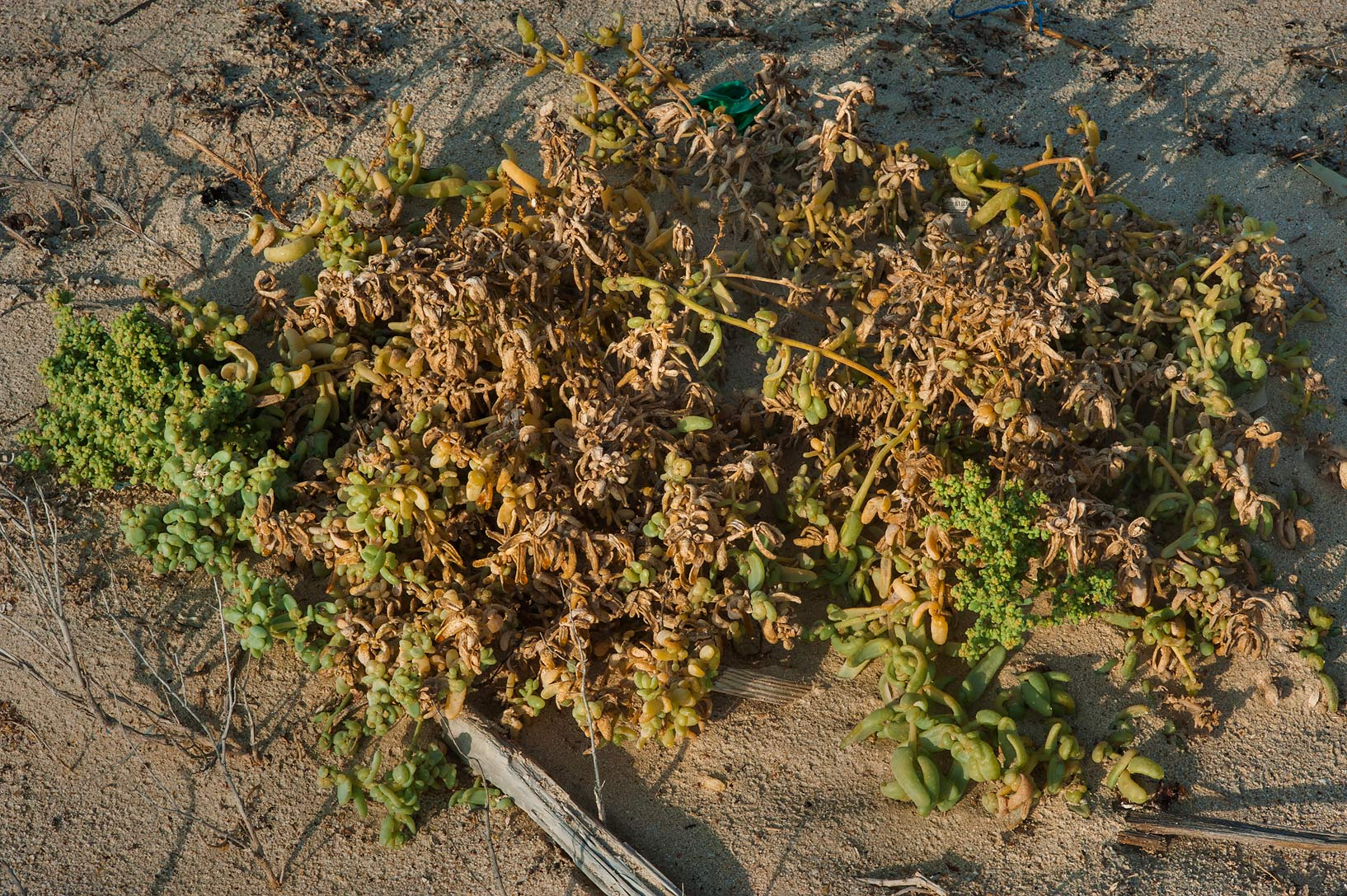 Dying plant of Bienertia cycloptera on a beach in...Samra, near the border. Southern Qatar