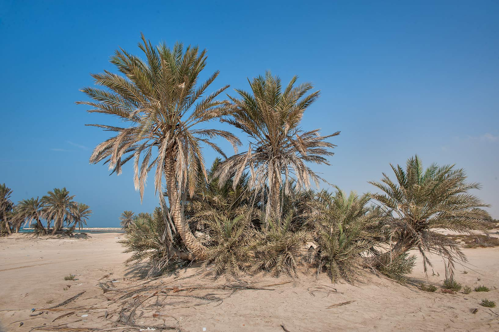 Date palms (Phoenix dactylifera, local name...near Umm Bab in south-western Qatar