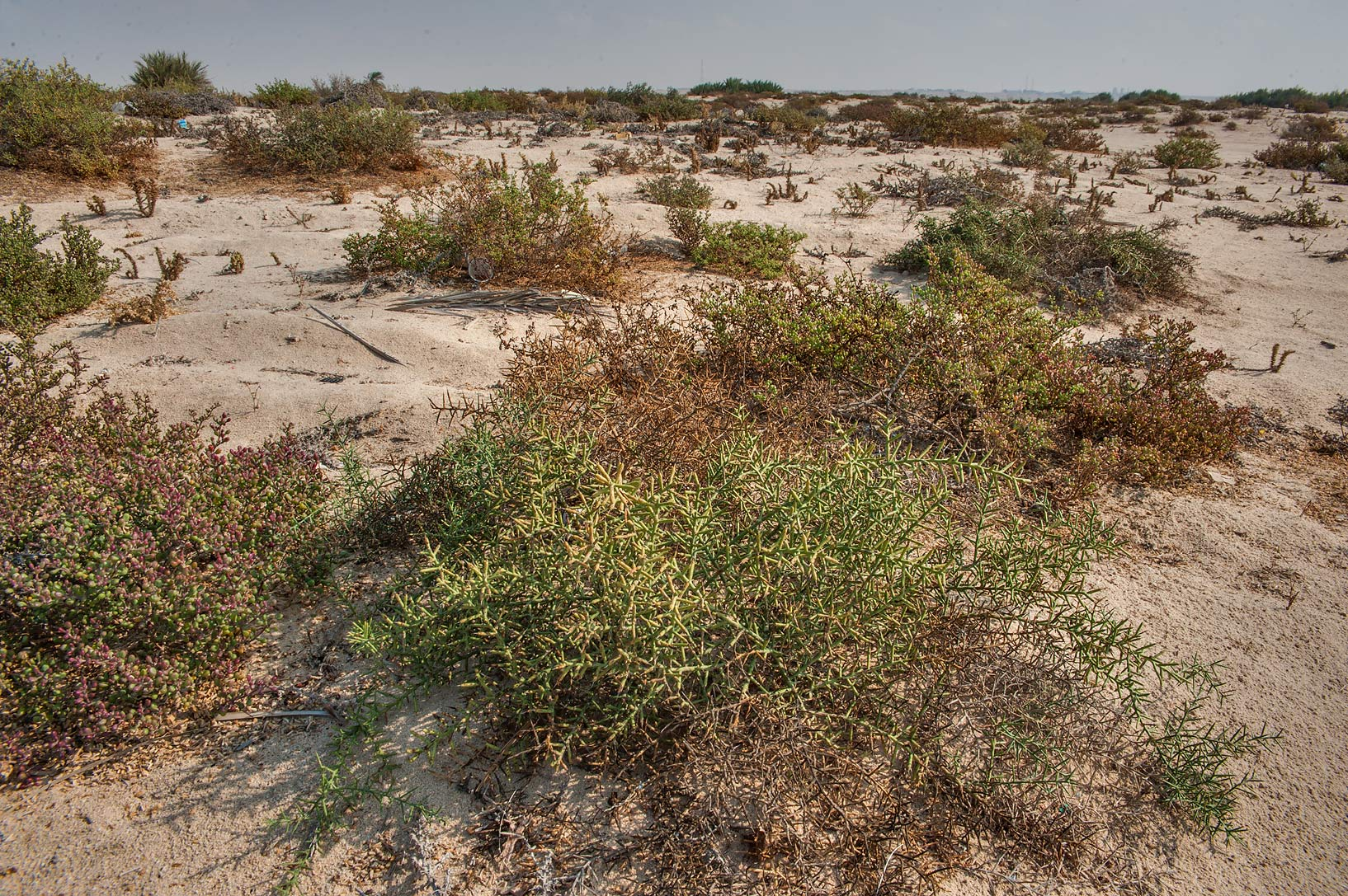 Camelthorn bush (Alhagi maurorum) on a beach in...near Umm Bab in south-western Qatar