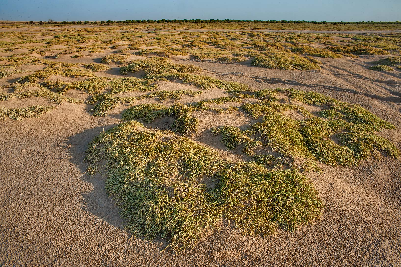 Mats of jointed glasswort (Halocnemum strobilaceum) in salt marsh near Al Thakira. Qatar