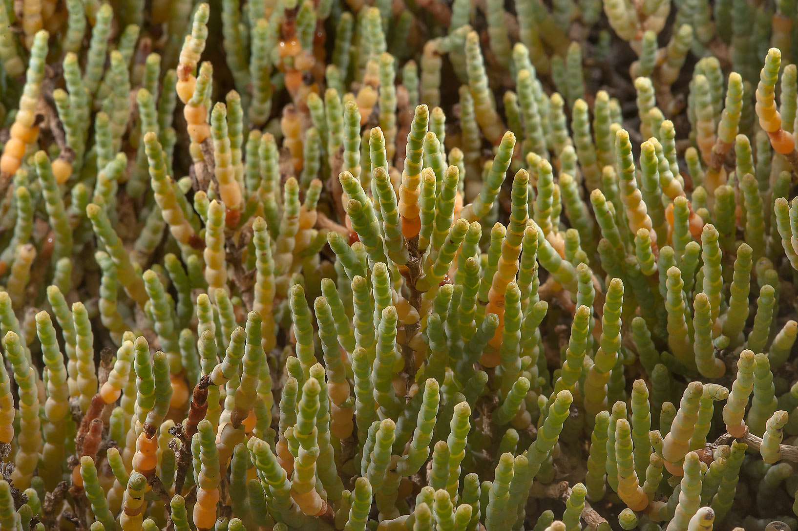 Yellowish shoots of glaucous glasswort...in salt marsh near Al Thakira. Qatar
