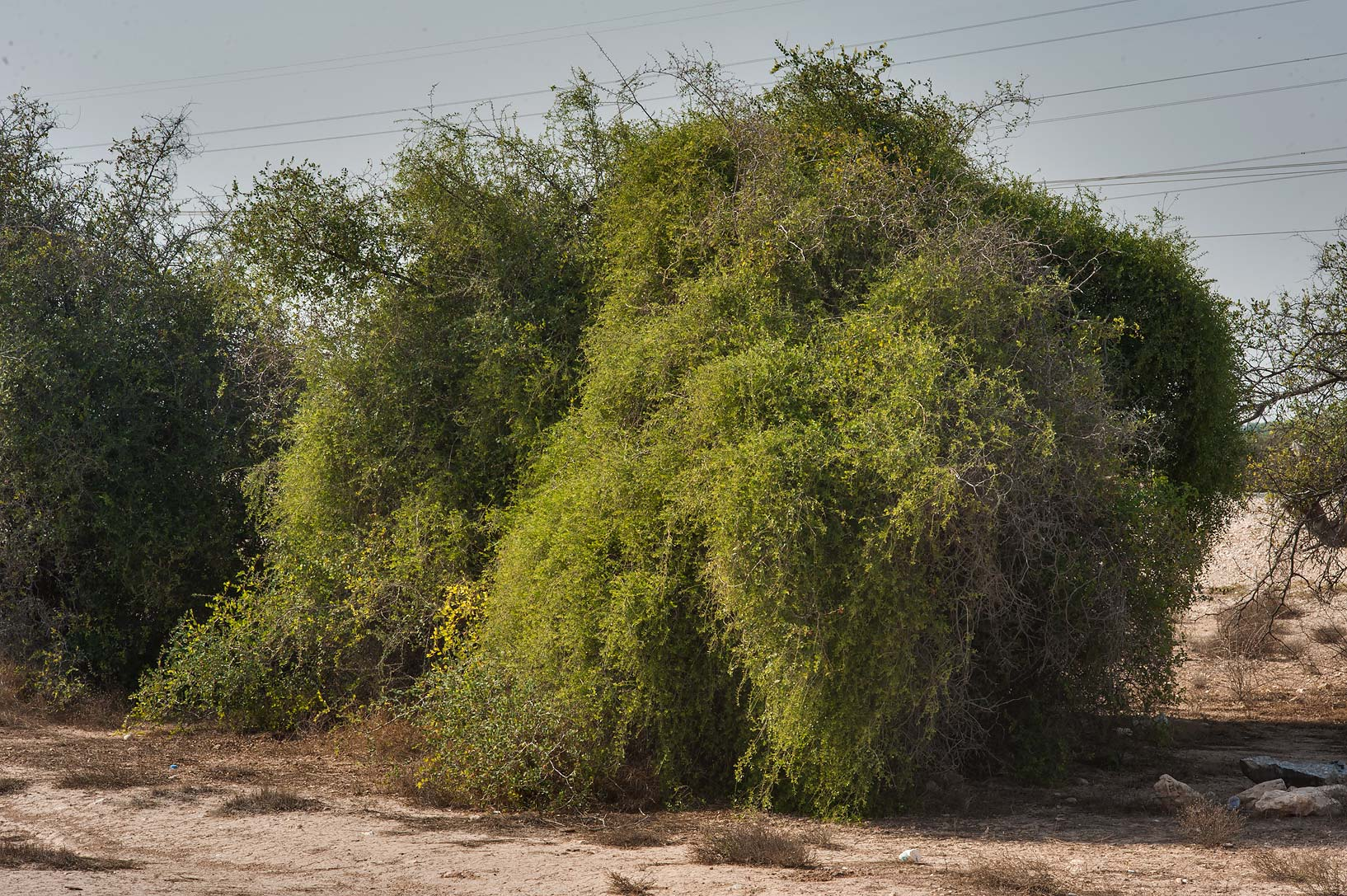 Vine of Cocculus pendulus in Rawdat Mahyoub on...Al Jumayliyah in north-western Qatar