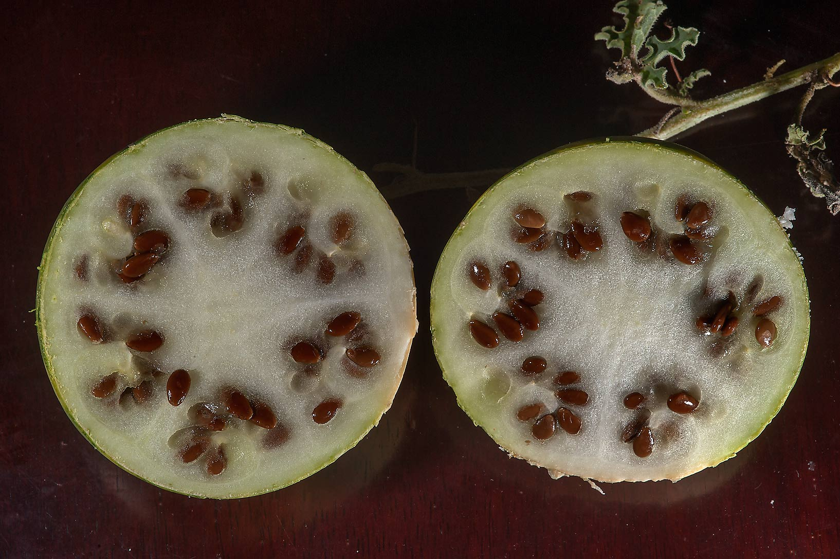 Dissected fruits of desert gourd Citrullus...Al Jumayliyah in north-western Qatar