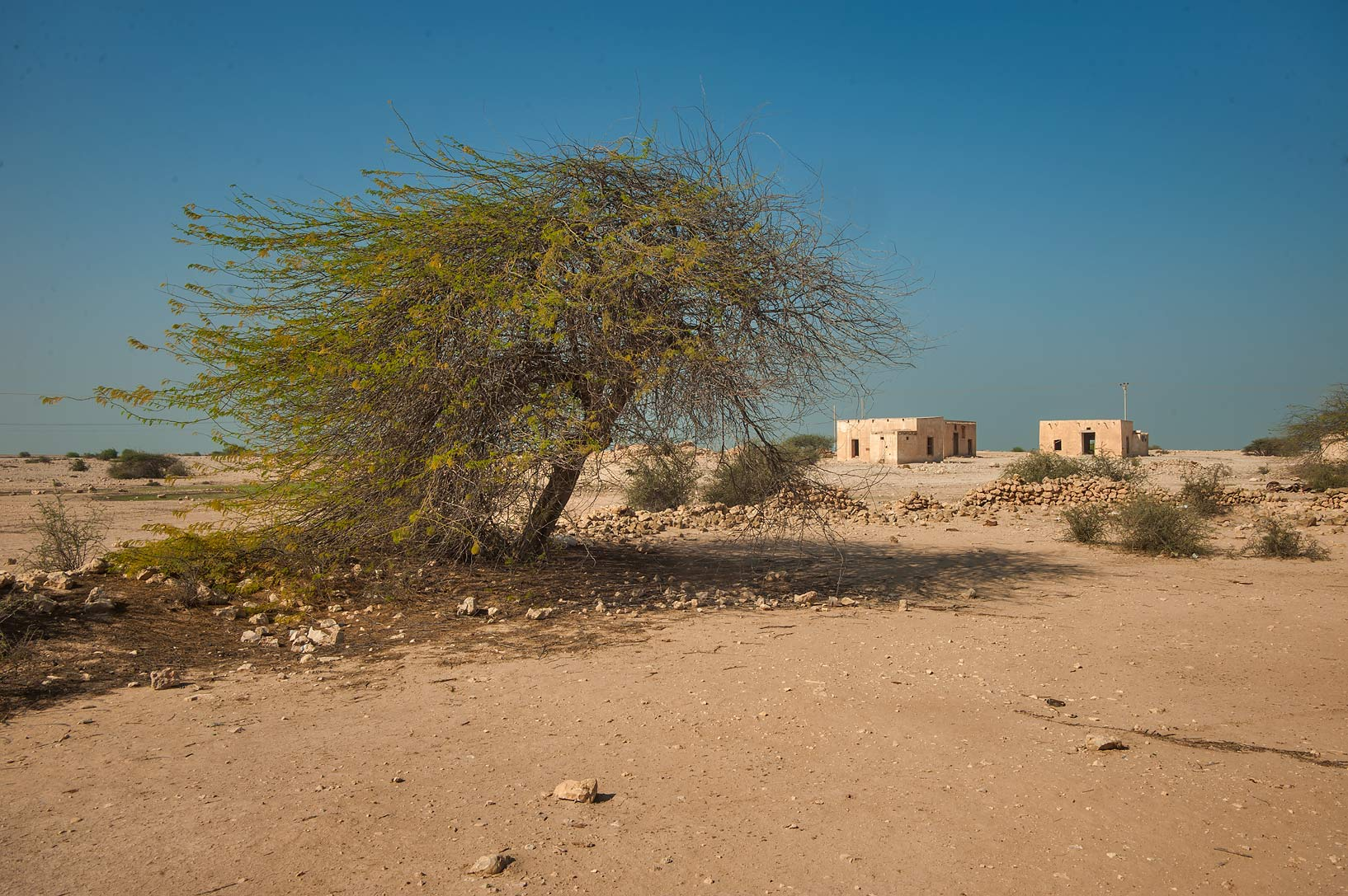 Acacia tree in a farm of a poet Mohammed bin...Rd. north from Zubara. Northern Qatar