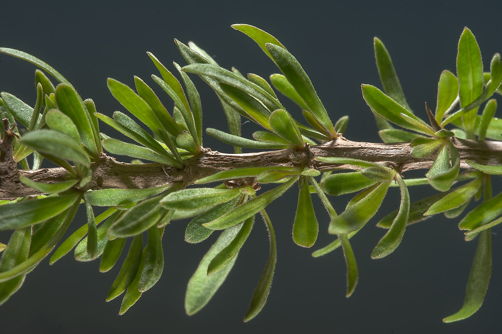 Twig of desert thorn (Lycium shawii) with fresh leaves near Zubara. Northern Qatar