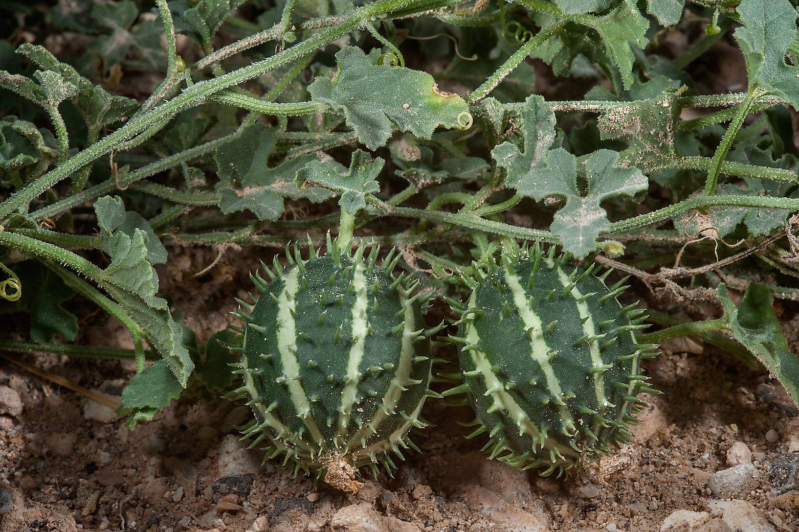 Wild gourd (Cucumis prophetarum) on roadside of a...Al Numan) near Zubara. Northern Qatar