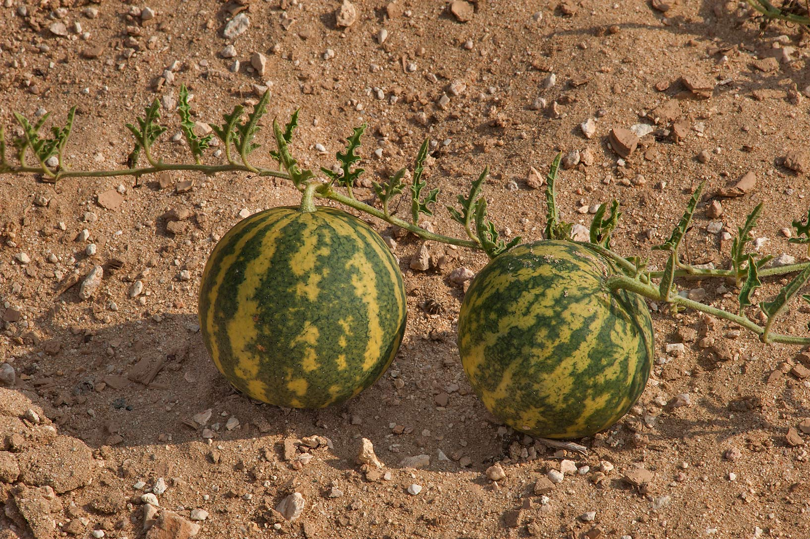 Fruits of desert gourd Citrullus colocynthis at...Al Numan) near Zubara. Northern Qatar