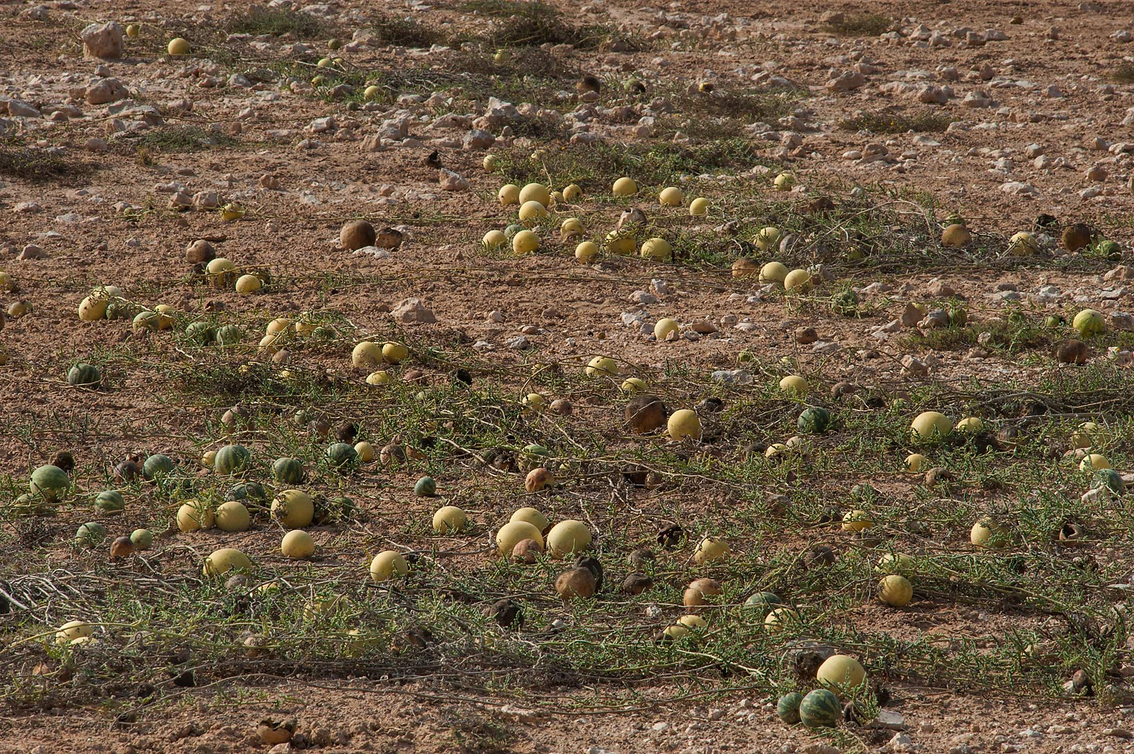 Field of desert gourd Citrullus colocynthis in a...Al Numan) near Zubara. Northern Qatar